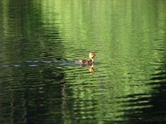 A duckling plies the waters of Round Lake on the Tradition Lake Plateau.