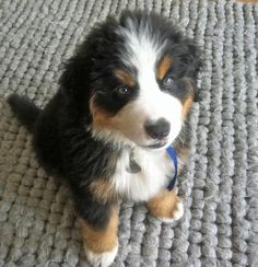 Bernese Mountain Dog puppy, getting one of these too in my later life Best Dogs, All Dogs, Dogs And Puppies, Mountain Dogs, Bernese Mountain, Baby Ferrets, Bernese Dog, Crazy Dog Lady, Puppy Breeds