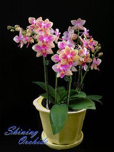 'Sogo Phalaenopsis Gotris' | dec 31 phalaenopsis cattleya phalaenopsis stem propagated phalaenopsis ...