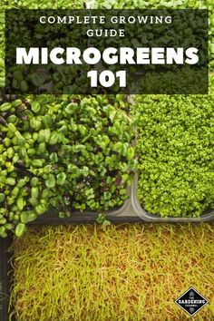 Don't miss this complete guide to growing microgreens. Here's how you can introduce microgreens to your own garden and diet. growing hydroponic How to Grow Microgreens: A Beginner's 101 Guide Growing Microgreens, Growing Vegetables, Growing Sprouts, Gardening Vegetables, Gardening For Beginners, Gardening Tips, Flower Gardening, Hydroponic Farming, Hydroponic Growing
