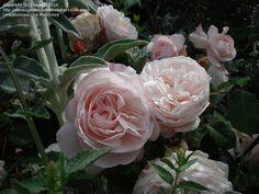 "Floribunda Rose 'Gruss an Aachen' (Rosa) ""A beautiful rose. Unashamedly old fashioned and romantic!"" (and looks like stachys /lambs ear beside) Floribunda Roses, National Botanical Gardens, Garden Plants, Garden Roses, Lambs Ear, Companion Planting, English Roses, Beautiful Roses, Romantic"