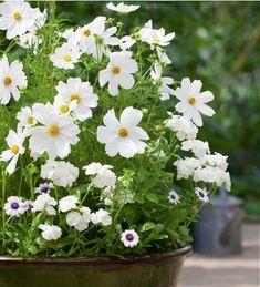 Cosmos Sonata White container plant ; Gardenista