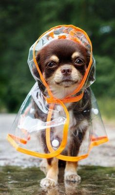 Aren't chihuahua puppies look adorable and funny a. - Aren't chihuahua puppies look adorable and funny a. - Source by Cute Funny Animals, Cute Baby Animals, Funny Dogs, Animals And Pets, Funny Puppies, Wild Animals, Chihuahua Puppies For Sale, Cute Dogs And Puppies, Funny Chihuahua