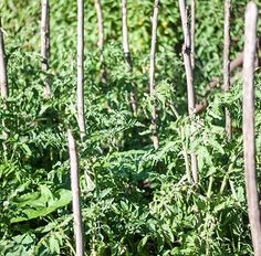 Secrete ale cultivarii castravetilor in gradina bio - magazinul de acasă Salvia, Permaculture, Ale, Outdoor Structures, Garden, Plant, Garten, Sage, Ale Beer