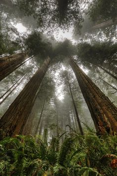"decepticun: ""Coast Redwood 