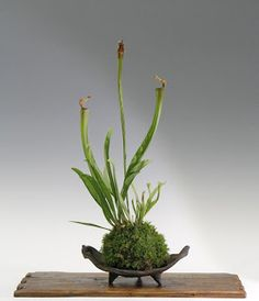 Carnivorous plant Sarracenia-style-planted musgo.El Kokedama or ball container is hand made Japanese