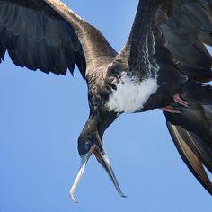 :) Frigatebird Diving
