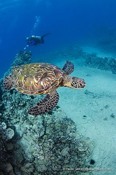 Green Sea Turtles