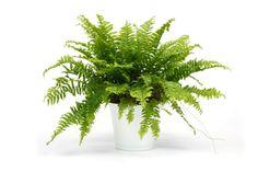 Planta Filodendro Zapatilla, Bolsa 1 Litro, Costo Por Docena