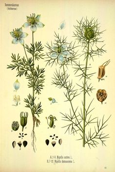 1887 - Medizinal Pflanzen, set of 4 volumes included plants of medicinal interest from several European nations. edited by Gustav Pabst, a German botanist. With nearly 300 over-sized illustrations, expertly drawn by the artists L. M�eller and C.F. Schmidt, and skillfully rendered by K. Gunther in chromolithography. via BHL