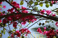 Dominican Republic flowers