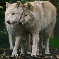 "Arctic Wolves, Artis Zoo, Amsterdam, by ""Gary's Photos !"""
