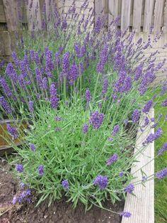 https://twitter.com/aleidoverbeek Uitbundig bloeiende lavendel, dat is voor mij zomer! dag 3
