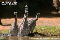 3- Dromaius novaehollandiae (Emu  chicks)