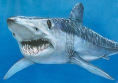 SHORT FINNED MACO shark -(Scientific name: Isurus oxyrinchus) fastest of all sharks.