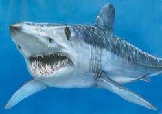 SHORT FINNED MACO shark -(Scientific name: Isurus oxyrinchus) fastest of all sharks.