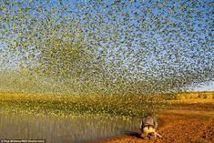 Stunning photographs have emerged of the dazzling moment tens of thousands of budgies tornadoing through the sky in a spectacle