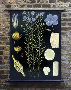 Flax Botanical Print, Reproduction of an Educational chart from Wallography