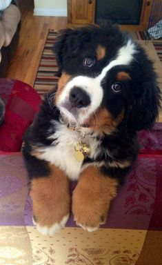 Exceptional cute dogs info are available on our site. Have a look and you wont b … - Cats and Dogs House Bernese Mountain Puppy, Mountain Dogs, Baby Dogs, Pet Dogs, Dog Cat, Doggies, Beautiful Dogs, Animals Beautiful, Cute Baby Animals