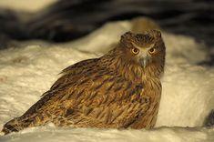 Blakiston`s fish owl on the hunt <3