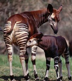 """Okapi are the only relative of the giraffe.  They have prehensile tongues like the giraffe, for stripping buds and leaves from the brush in their Ituri Forest home in Central Africa.  Their dark purplish or reddish-brown fur feels like velvet, and will show the imprint of a hand.  They are solitary animals, so were unknown to scientists until 1900.  It's stripes are great camouflage, and are sometimes called """"follow-me stripes"""", for the benefit of their young following them in the dark…"""