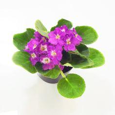 Flores de Vasos (5)
