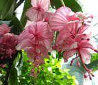 Medinilla magnifica Malaysian orchid