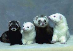 ferrets pictures