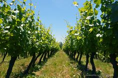 Carlo & Julian Vineyard in Carlton, Oregon Carlton Oregon, What Is Life About, Vineyard, Plants, Travel, Viajes, Vine Yard, Destinations, Vineyard Vines