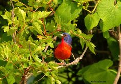 Male Painted Bunting  by Andrea Cowart on Capture Memphis // This is one of several pictures of mine the local TOS will be using in an upcoming talk.  I was the last member and photographer that documented and pair at Bunting Corner a couple of years ago and the last photographer that documented and paid in the South Memphis area.  Hoping,  I will be able to find them/hope they rewritten this year