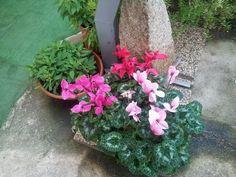 Ciclamini Garden, Plants, House, Garten, Home, Lawn And Garden, Gardens, Plant, Gardening