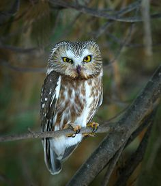 Northern Saw-Whet owl, have  awing spread of 17-23 inches, one of the smallest owels in North America, about the size of a robin
