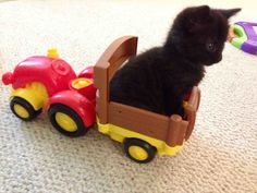 This teeny-tiny kitten who's ready for a small road trip. | 19 Insanely Cute Kittens Who Just Don't Know Any Better