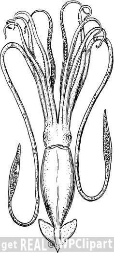 Squid engraving