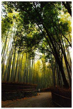 The famous bamboo forest in Kyoto, Japan. Saga-Arashiyama.