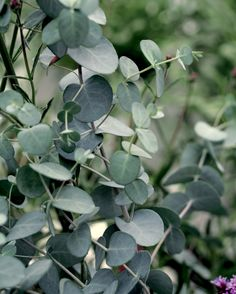 Our Silver Drop Eucalyptus Seed produces a dwarf eucalyptus, rarely reaching 5 feet, ideal for smaller yards and garden spaces. With the same fragrant foliage Stipa, Eucalyptus Tree, Eucalyptus Species, Aromatic Herbs, Plant Needs, Live Plants, Cut Flowers, Dried Flowers, Garden Planning