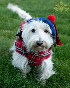 A West Highland terrier, a breed that originated from Scotland if I recall correctly. And this one's so cute with its plaid (or is it tartan - is this an official pattern?) and tam-o'-shanter. :)