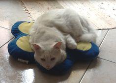 SESTU (CAGLIARI): SMARRITO SILVIO, GATTO BIANCO SORDO http://terzobinario.blogspot.it/2014/11/sestu-cagliari-smarrito-silvio-gatto.html