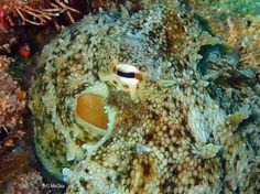 Taken at Rottnest Island #thisiswa #rottnestisland #octopus #marinelife #natureaddict #travel #travelphotography #underwater #underwaterphotography #scuba #dive #padi #lifewellspent #uw #uwlife #uwpics #uwphotography #perthisok #perthlife #seeaustralia #seeperth #icwest #WAnderlust #wawaters by guns_mcghie http://ift.tt/1L5GqLp