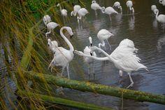 Albino Flamingos