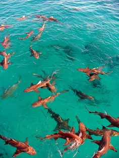 Lots of sharks in clear water