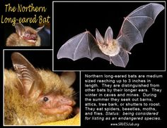 Northern long-eared bat collage, repinned from Garry Rogers. Northern long-eared bats are listed as an endangered species in Ontario (SARO)