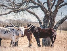 Texas Longhorn Print, Longhorn Photo, Horse Photography, Landscape Photo, Animals, Longhorns, Fine Art, Landscape Print, Texas Western Decor Landscape Prints, Landscape Photos, Landscape Photography, Texas Western, Western Decor, Texas Photography, Horse Photography, Texas Longhorns, Cattle