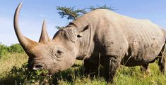 Black rhinoceros in the african savannah National Geographic, Savannah, Rhino Poaching, Serengeti National Park, Tanzania Safari, Endangered Species, Animal Kingdom, Animals Beautiful, Mammals