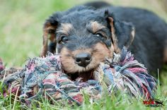 Erste Zerrspiele eines Airedale Terrier Welpen von MN Photography -Tierabbildung