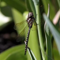 What Plants Attract Dragonflies To Gardens?