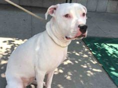 **SICK** - TO BE DESTROYED - 08/05/16 - SNOW - #A1081954 - Urgent Brooklyn - SPAYED FEMALE WHITE/BLACK AM PIT BULL TER MIX, 1 Yr - STRAY - HOLD FOR ID Intake 07/20/16 Due Out 07/23/16 - 08/03 CIRDC, DOXY