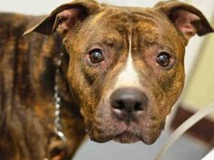 TO BE DESTROYED - TUESDAY 12/02/14 Brooklyn Center BAUNJI - A1021438 NEUTERED MALE, BR BRINDLE / WHITE, PIT BULL MIX, 5 yrs OWNER SUR - ONHOLDHERE, HOLD FOR ID Reason PERS PROB Intake condition UNSPECIFIE Intake Date 11/22/2014, From NY 11417, DueOut Date 11/22/2014, https://www.facebook.com/Urgentdeathrowdogs/photos/pb.152876678058553.-2207520000.1416863807./910185028994377/?type=3&theater
