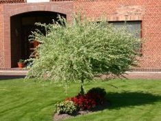 salix integra hakuro nishiki shrubs pinterest shrub plants and gardens. Black Bedroom Furniture Sets. Home Design Ideas