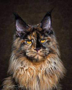 Maine coons photographed by Robert Sijka